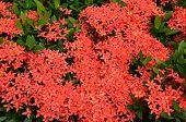 Bouquet Of Ixora Flower, West Indian Jasmine, Ixora Chinensis Lamk