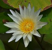 Single Yellow Lotus Front View