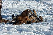 Amur Tiger Cubs Playing