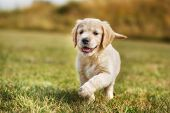 stock photo of golden retriever puppy  - Seven week old golden retriever puppy outdoors on a sunny day - JPG
