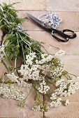 Silver Milfoil (achillea Millfolium), A Medicinal Herb