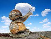 picture of hermaphrodite  - Garden snails  - JPG