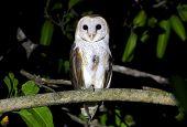 Barn Owl Tyto Alba