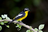 Yellow-rumped Flycatcher Ficedula Zanthopygia