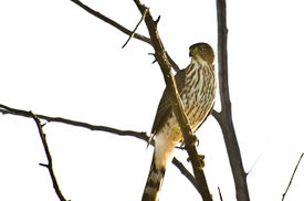 image of sharpie  - Sharp-Shinned Hawk Perched in a Tree Against on White Background ** Note: Visible grain at 100%, best at smaller sizes - JPG