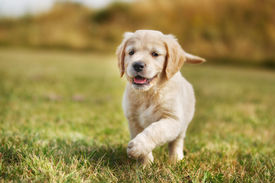 image of little puppy  - Seven week old golden retriever puppy outdoors on a sunny day - JPG
