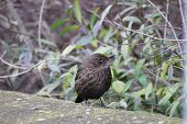 picture of brown thrush  - Female common blackbird watchfully sitting on a stone wall - JPG