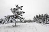 Winter scene in pine forest