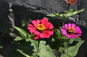 foto of zinnias  - Zinnia flower, Zinnia flower in full bloom.