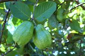 Fresh Guava Fruit On The Tree