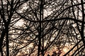 Silhouette Of Branches Of The Winter Sky