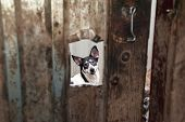picture of hasp  - White and black dog peeking through window in dirty gate - JPG
