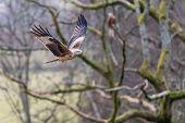 image of kites  - Red Kite Captured In Wales in The UK - JPG