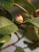 red camellia bud