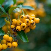 close-up photo of colorful autumnn rowan berries