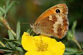 Gatekeeper Butterfly ,Pyronia tithonus