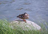 picture of duck pond  - Sitting duck resting on a rock in a pond - JPG