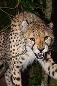 Cheetah Attack
