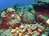 stock photo of sergeant major  - School of Sergeant Major Fish on a colorful Kona Reef - JPG