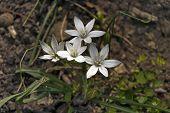 Close-up of white Star of Bethlehem flower