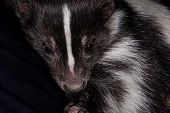 pic of skunk  - very close up photograph of a skunk showing just the head with detailed hair - JPG
