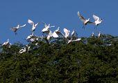 Egrets in Kiawe-Struktur