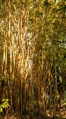 Yellow Old Bamboo Forest