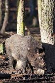 Female Wild Boar