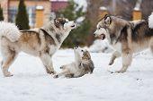 Family Dog Breed Of Malamutes