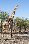 picture of veld  - tall griraffe standing in the dry veld Namibia Africa - JPG