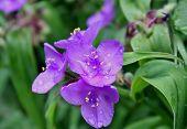 rain drops on the spiderwort flower