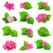 stock photo of hydrangea  - collection of green leaves with spring flower of hydrangea plant - JPG