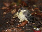 picture of great tit  - A great tit (Parus major) chick fallen out of the nest and frozen with fear.