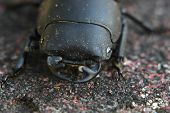stock photo of exoskeleton  - Macro of a female stag beetle (Lucanus cervus).