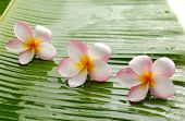 Plumeria flowers and wet banana leaf isolated