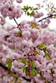 Sakura Twig