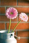 pink Gerber Daisy before brick wall