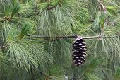 image of pinus  - Cone of a blue pine  - JPG