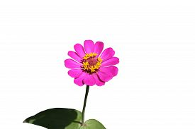 pic of zinnias  - pink Zinnia flower, Zinnia flower in full bloom.