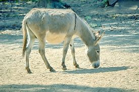 foto of wild donkey  - African wild ass eating in the field - JPG