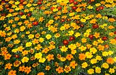 picture of marigold  - a green house floor covered with marigold bedding plants - JPG