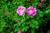 foto of wild-brier  - Two wild roses on the green bush - JPG