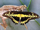 Butterfly, - Zebra Longwing