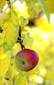 pic of apple orchard  - Picture of an Apple in orchard  - JPG
