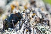 picture of hoppers  - black Bradyporus dasypus in his natural background - JPG