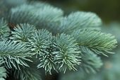 stock photo of blue spruce  - Blue spruce branches on a green background  - JPG
