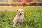 stock photo of little puppy  - little puppy outdoors in a retro style - JPG