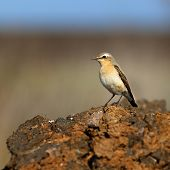 foto of songbird  - Wheatear sitting on a stone surface - JPG