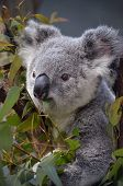 stock photo of eucalyptus leaves  - the young koala is busy eating eucalyptus leaves