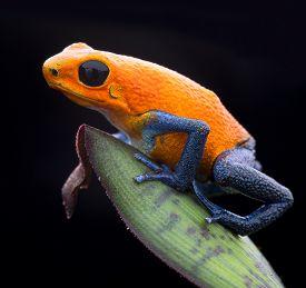 foto of rainforest  - orange strawberry poison dart frog - JPG